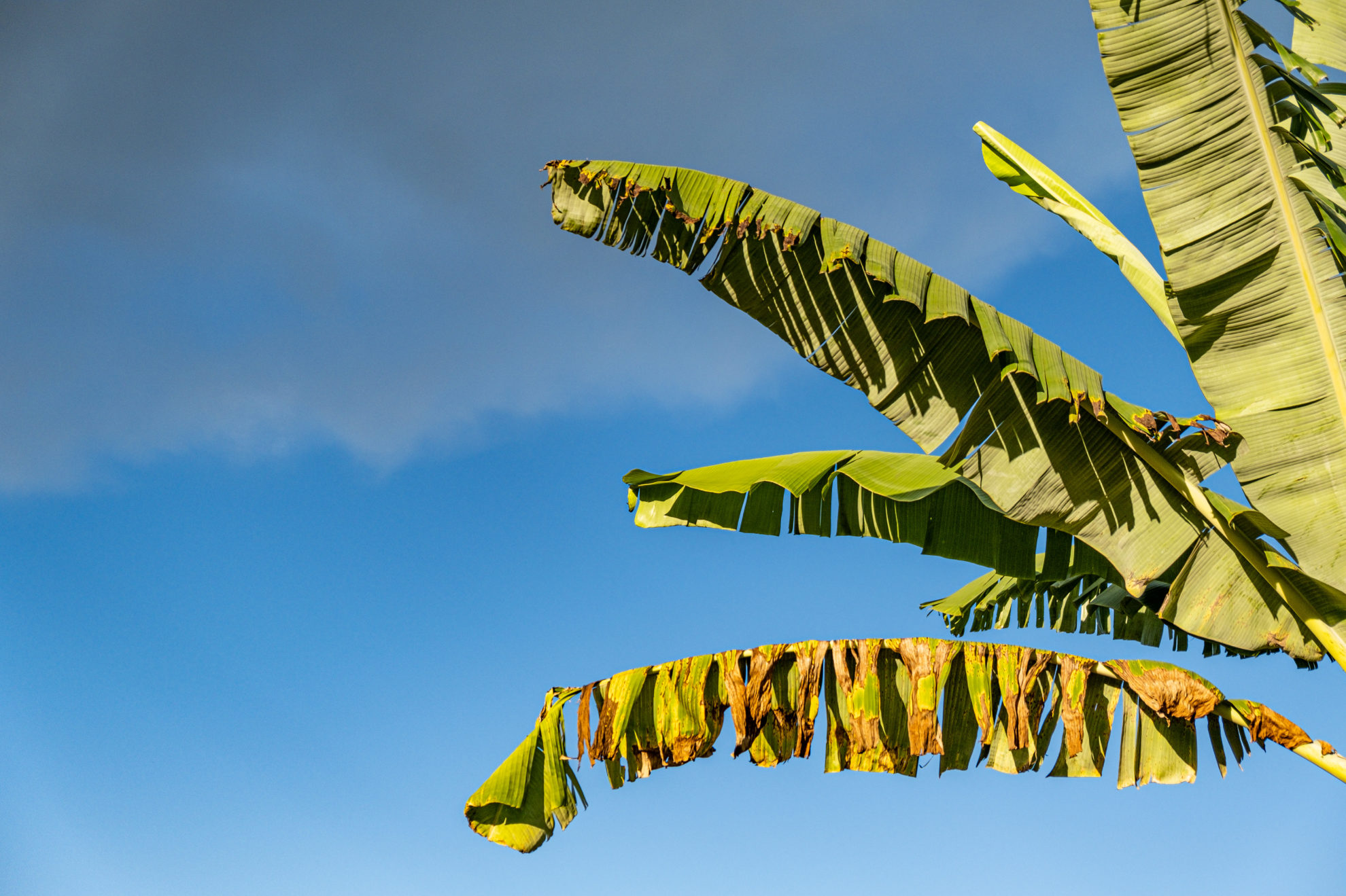 Mehrere Palmblätter vor blauem Himmel