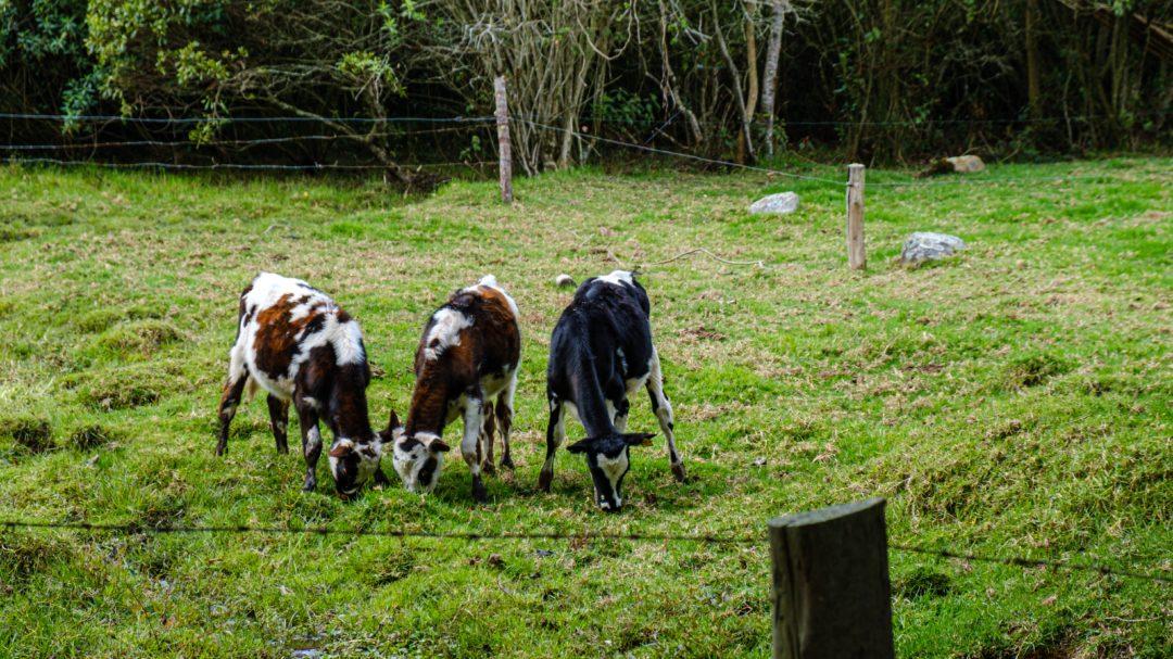 Drei weiß gefleckte Kühe stehen auf einer Wiese und fressen Gras
