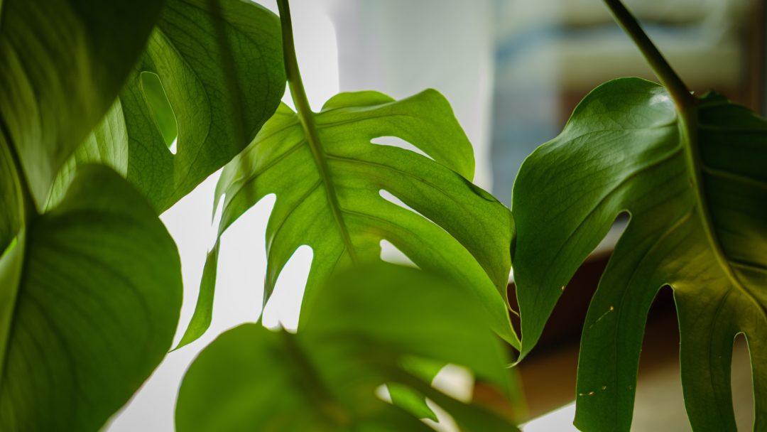 Mehrere Blätter einer Monstra-Pflanze, eins wird von hinten von der Sonne angestrahlt und leuchtet grün