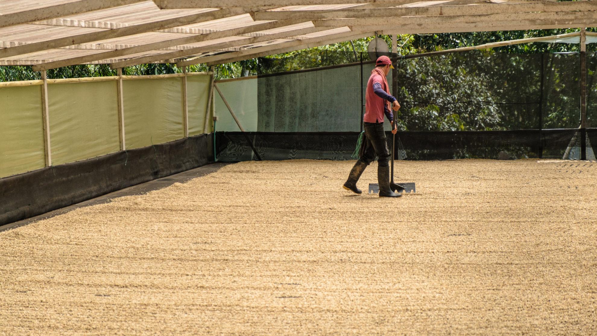 Ein Arbeiter wendet mit einem Wender den trocknenden gelben Rohkaffee