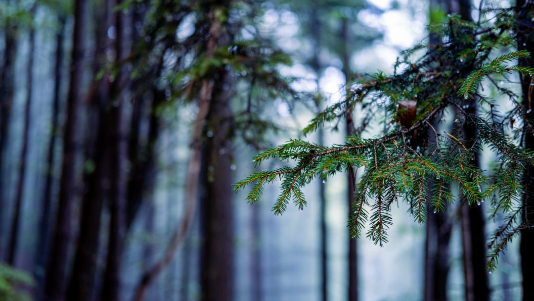 Ein Zweig eines Nadelbaums Wald mit vereinzelten Wassertropfen