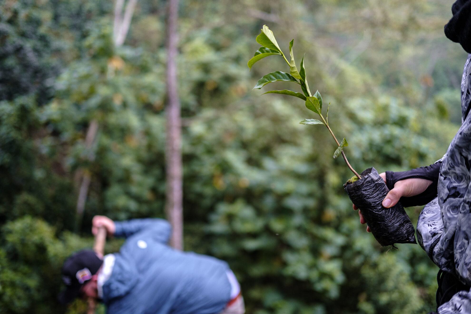 Eine Hand hält eine einzelne Kaffeepflanze kurz vor dem Einpflanzen