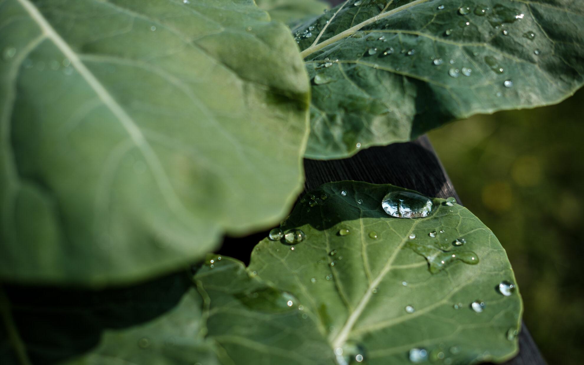 Wassertropfen liegen auf den großen grünen Blättern einer Kohlrabi-Pflanze und glänzen im Sonnenlicht.